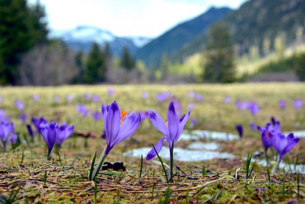 Bauer nebenan Landschaft Krokusse Blumen Frühling Hoffnung Neuanfang Fastenzeit